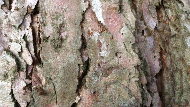 Giant redwood (Sequoiadendron giganteum) - bark close up - February 2018
