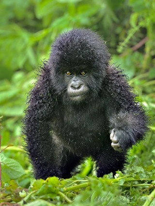 Baby Mountain Gorilla - His fur is wet from the rain. Everyone
