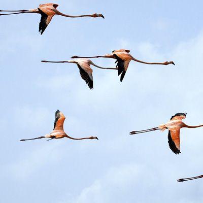 Flamingo's Curacao. Als je vanuit Willemstad richting Willibrordus rijdt, kan je langs de weg een groep flamingo's goed bezichtigen....