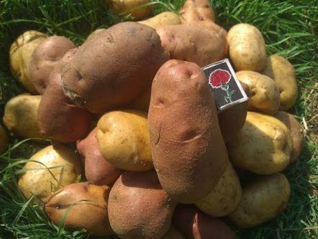 Как правильно выращивать картофель.(ведро с куста)