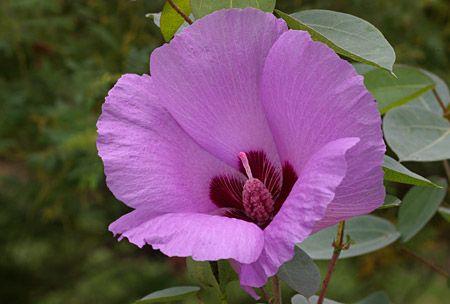 Gossypium sturtianum. Sturt's desert rose