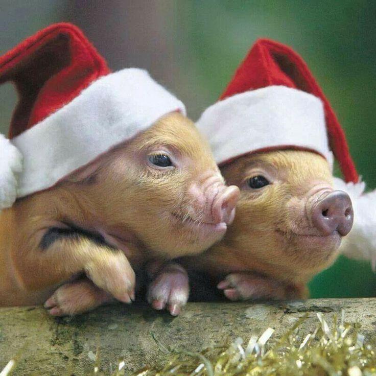 Santa Piggies