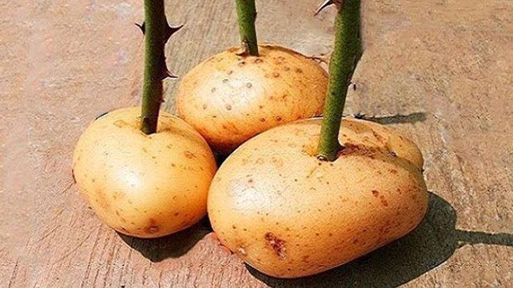 Stecke Einen Rosenzweig In Eine Kartoffel Und Sieh Was