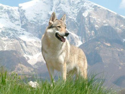 Conheça a raça Cão Lobo Checoslovaco