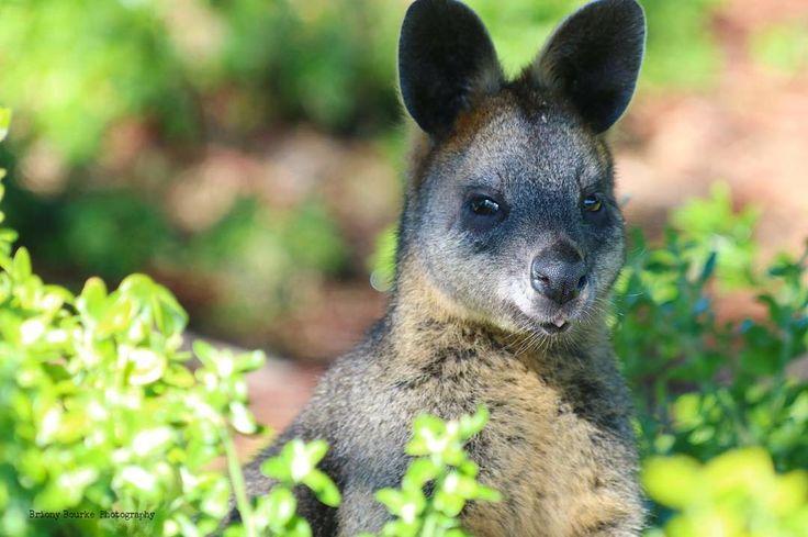 """Suspicion"" #wildlife #wildlifephotography #portfairy #griffithisland #nature…"
