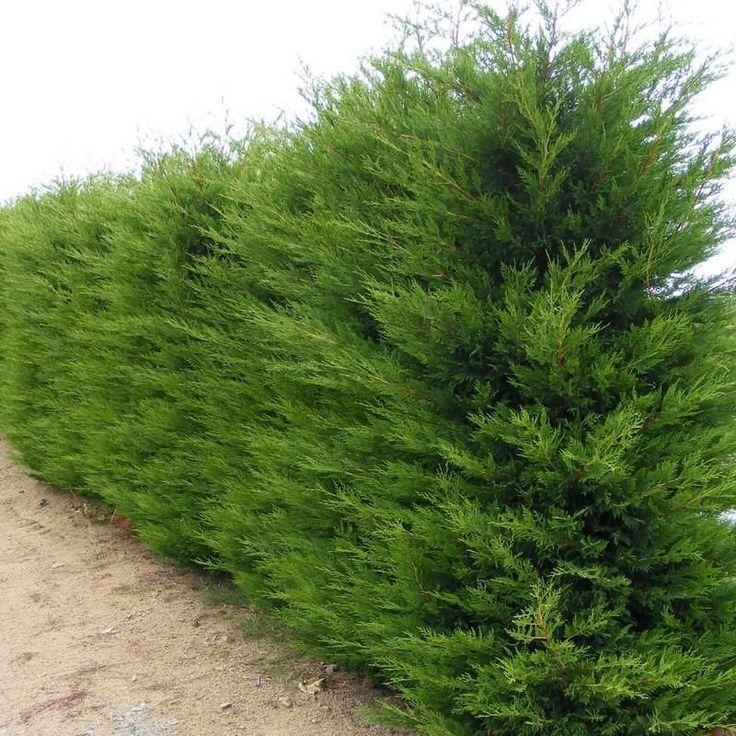 23 mejores im genes sobre cercos en pinterest cerezas for Arbustos para patios