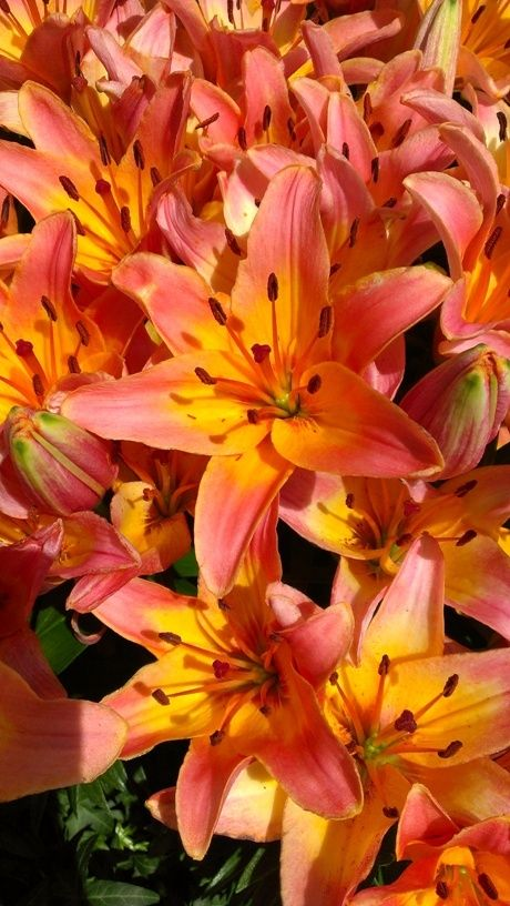 asiatic+lily | Orange lilies are one of my favorite flowers. Their colors are so ...