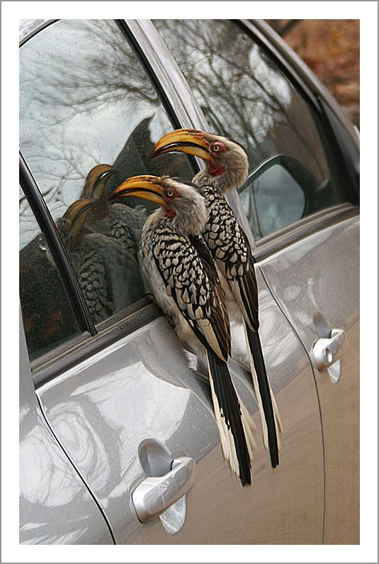 Along the driveway of our safari camp these horn-bills had a nest in the hollow of a tree. They noticed two uninvited intruders in the reflection of the car's windows and were insistent that this pair leave their nesting area, their territory.