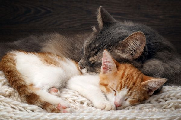 Why Do Cats Purr Cat Purrs Don T Always Mean Your Kitty Is Happy Catster In 2020 Why Do Cats Purr Cat Cuddle Cat Purr