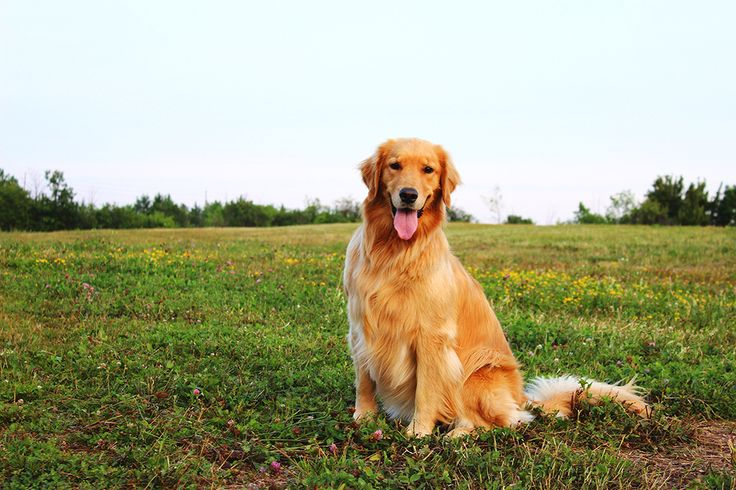 Molly the Golden Retriever is friendly, obedient and gives great hugs! Contact Hot Paws Talent Agency to book her for your next project. www.hotpawstalent.com