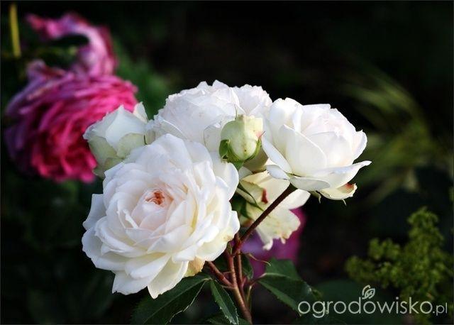 Róże białe - Forum ogrodnicze - Ogrodowisko
