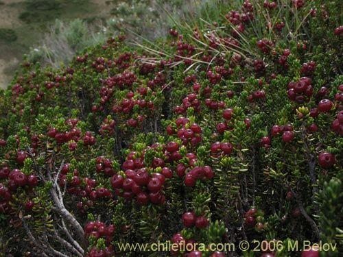 Imágen de Empetrum rubrum (Brecillo / Murtilla de Magallanes / Uvilla). Haga un clic para aumentar parte de imágen.