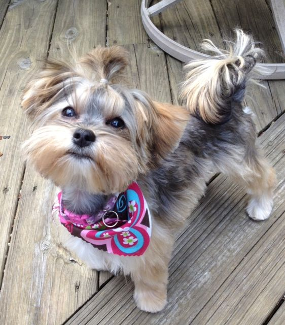morkie haircuts trends dogs pinterest trends home