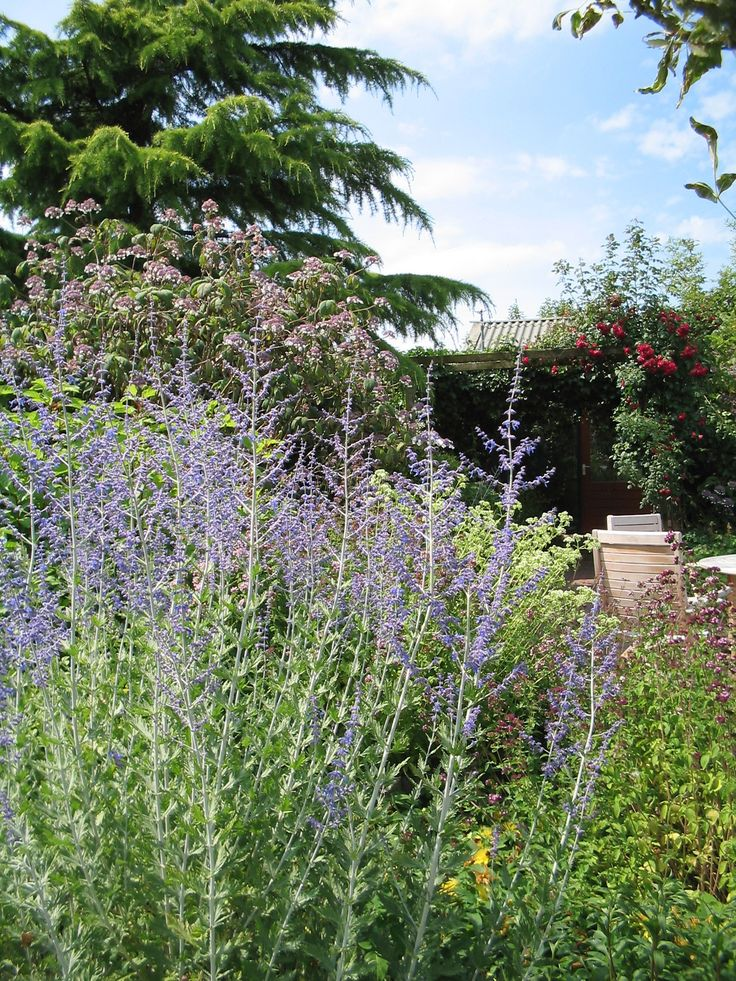 Perovskia atriplicifolia 'Blue Spire' - Reuzenlavendel - De Tuinen van Appeltern