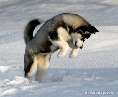 Love siberian huskies! Want one so bad