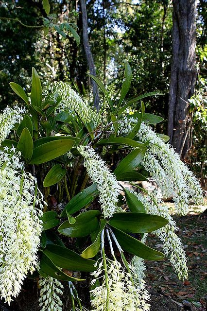 Sydney Rock Orchid (Dendrobium speciosum) Found in New South Wales and Victoria, Australia from the coastline, to about 150 miles inland.