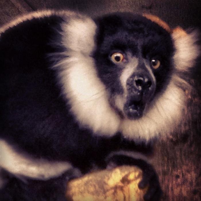 Bw lemur