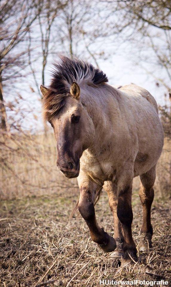 Konik horse - made by HUiterwaalFotografie