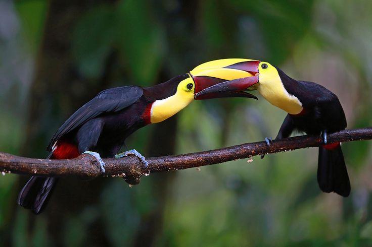 Битва туканов  Коста-Рика. Два лимонногорлых тукана сцепились клювами в битве за самку. Массивный клюв — одна из отличительных черт тукана, а громкий голос позволяет птицам определить местоположение друг друга.