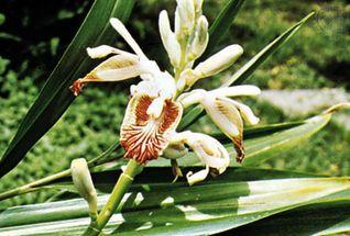 Imbir - warunki uprawy