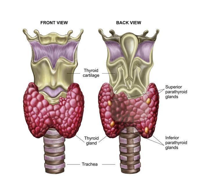 Это надо знать! 10 симптомов заболевания щитовидной железы