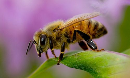 The Africanized Honey Bee, also known as the Killer Bee, was created by man, not by nature. The bee is a cross-breeding of the African Honey bee and various European Honey bees.  The new breed of bee was taken to Brazil in the 1950s in hopes to increase honey production. However, several swarms escaped, and has since spread throughout the Americas. They are a very defensive species and chase humans long distances. They have killed over 1,000 humans, as well as many other animals such as…