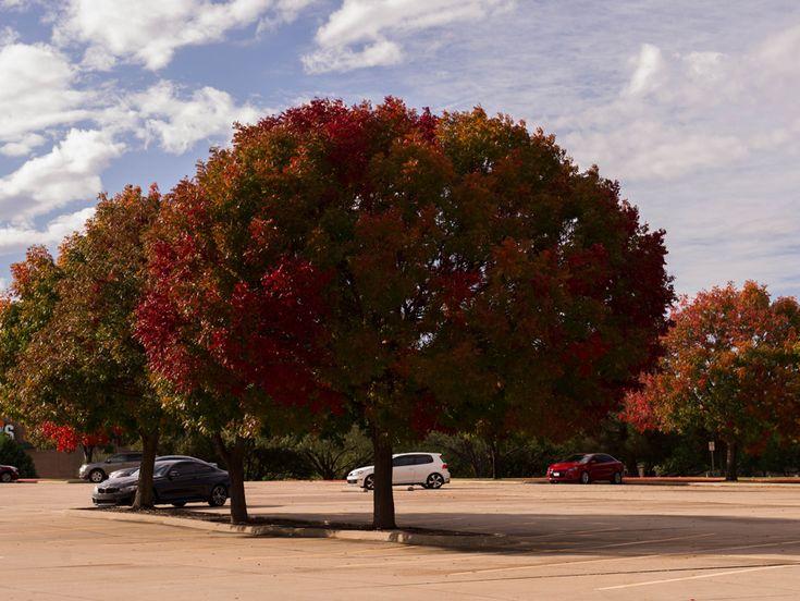 Mature Chinese Pistachio Tree // Treeland Nursery Gunter, Texas.