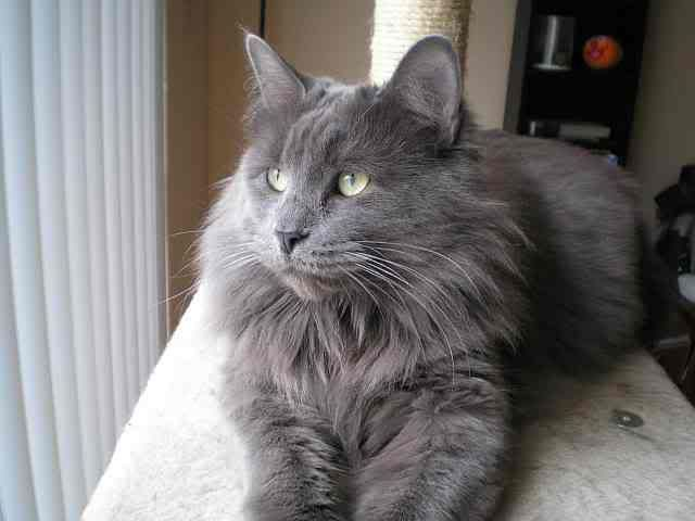Nebelung Cat A Rare Domestic Breed With A Sweet