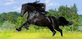 Raza de caballo Pura Sangre Inglés