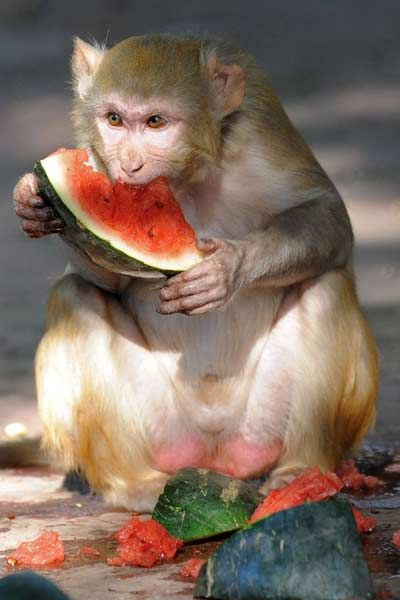 A rhesus macaque eats watermelon, provided by zookeepers to help the monkeys deal with hot summer temperatures, at the Kamla Nehru Zoological Gardens in Ahmedabad on May 18, 2012.