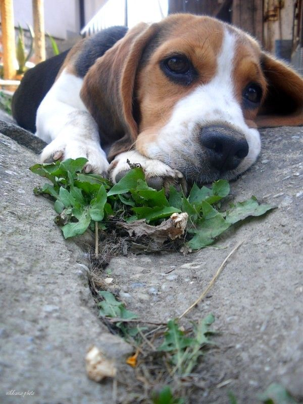 Dogtv Victoria Stilwell 354 Seconds On Barking Cute Beagles