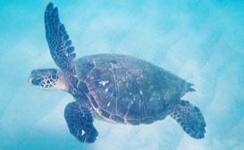 Daytona Beach Attractions - Things to Do in Daytona Beach, Florida: Sea Turtles nesting on the beach.