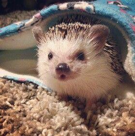 Hedgehog c: