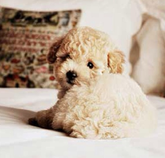 Golden doodles are so cute