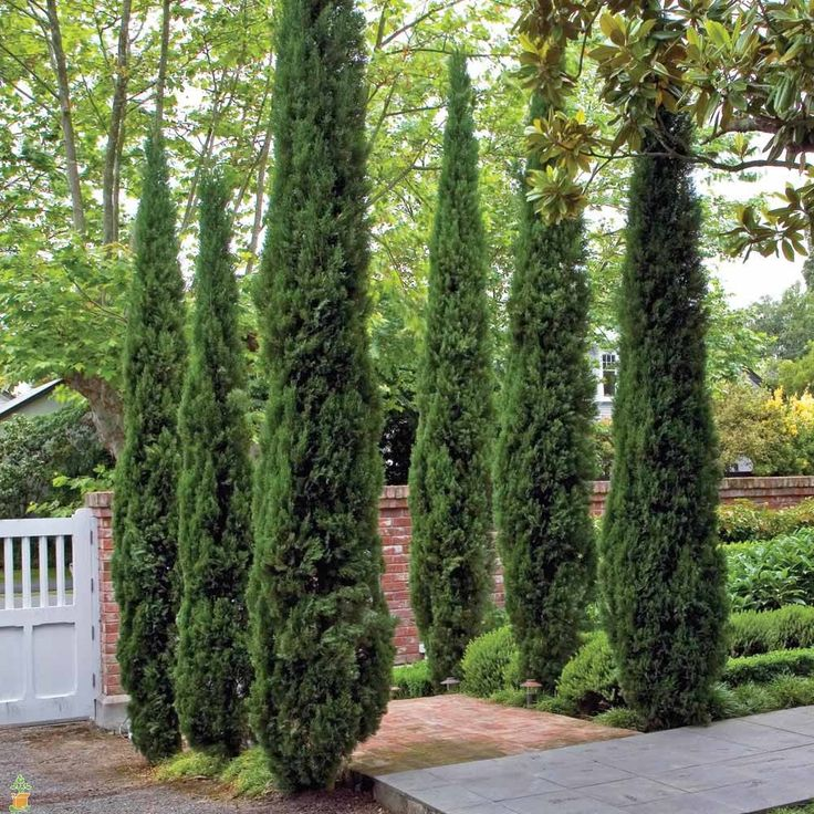 Grows super tall and is unique. Works great for a specimen tree or narrow privacy hedge. Nice blue green color that enhances your home.