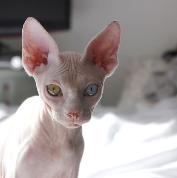 Eyed Hairless Cat