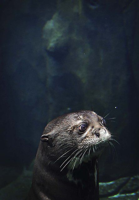 A giant river otter, the world's largest otter species, looks out of its enclosure at the newly completed River Safari in Singapore, on March 25, 2013. (Photo by Wong Maye-E/Associated Press)