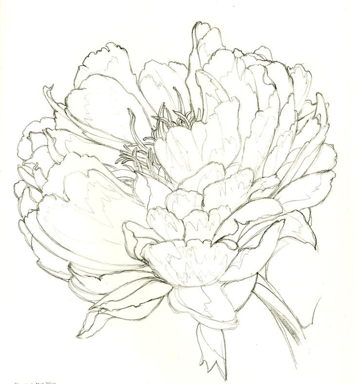 Peony in pencil - Currystrumpet