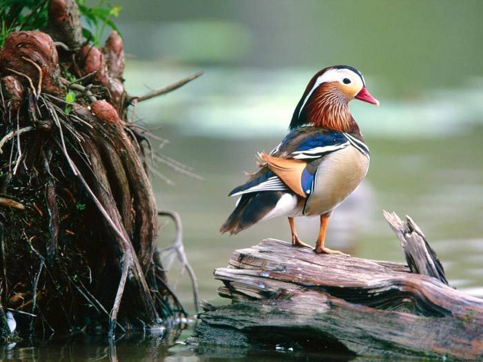 Beautiful: Woods Ducks, Color, Ducky Ducks, Beautiful Birds, Dark Wallpapers, Mandarin Ducks, Mandarin Dark, God Creatures, Feathers Friends