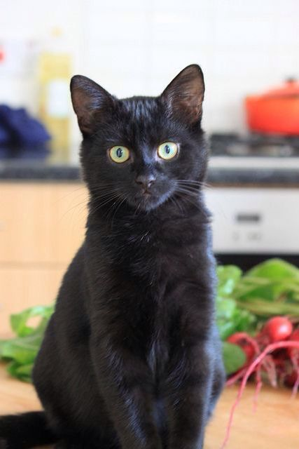 I'm Jet, I'm a female, I'm almost ten moons old. I am clever, swift, mysterious, loyal, kind, and shy if I'm not used to you. I'm a bit bossy when I'm angry. I love my humans, and I'm fierce when protecting my yard from intruders.