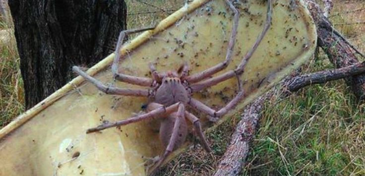 Charlotte la gigantesque araignée qui fais frissonner les internautes sur la toile