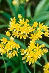 Allium moly - Allium Bulbs