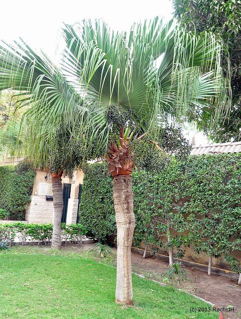 Tips on how to grow Chinese Fan Palms, including advice on watering, soil conditions, propagation and fertilizer for the greatest chance of success.