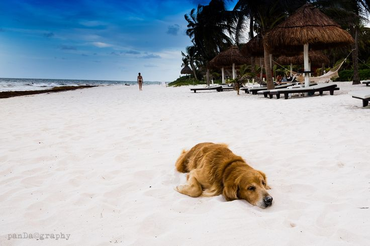 dreaming dog - dreaming dog in paradise beach Cancun, Mexico.