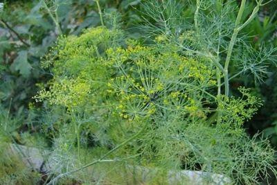 Mirodenia verde – comoara din grădină. 12 beneficii pentru sănătatehttp://antenasatelor.ro/curiozit%C4%83%C5%A3i/natura/8856-mirodenia-verde-%E2%80%93-comoara-din-gradina-12-beneficii-pentru-sanatate.html
