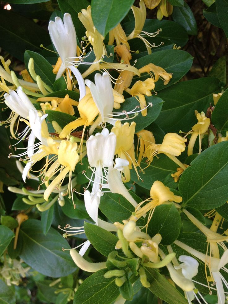 November is the best time to take hardwood cuttings from honeysuckle. Cut a 30cm stem with a bud at the top and the bottom, and insert it 15cm into a slit in the ground, adding a little sand to the slit if your soil is heavy. Give the plant a year to get going before you transplant it #homesfornature