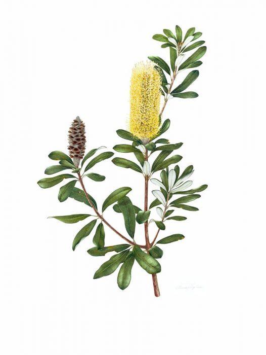 Banksia integrifolia (Coast Banksia)