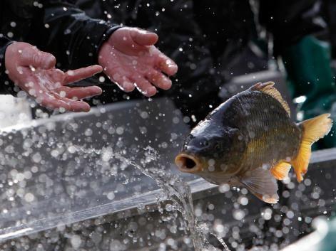 Carp haul: A fisherman throws carp in Czech Republic