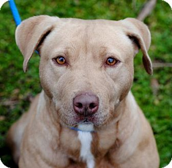 Pictures of Renata a Pit Bull Terrier for adoption in Anniston, AL who needs a loving home.