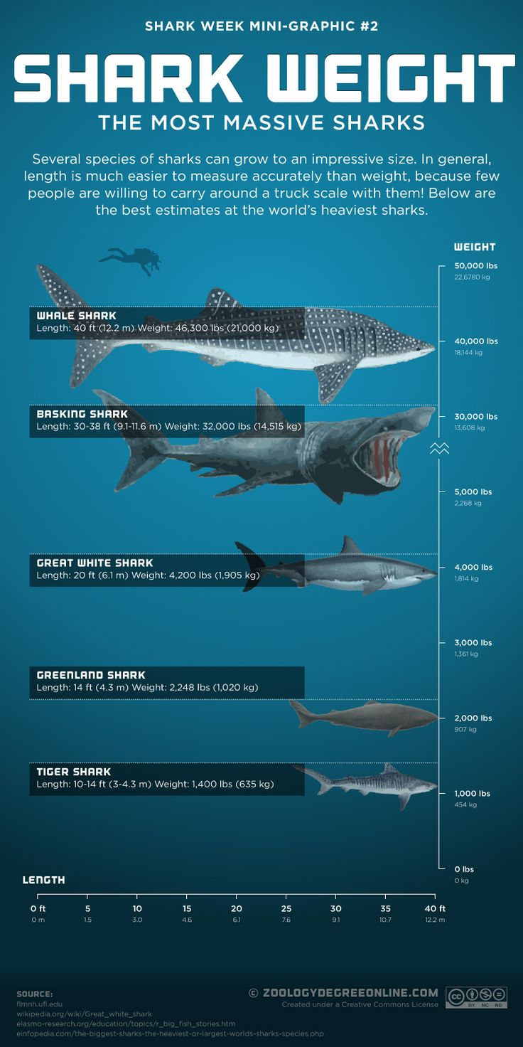 Several species of sharks can grow to an impressive size. In general, length is much easier to measure accurately than weight, because few are willing